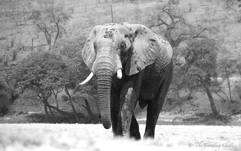 essay on african elephants
