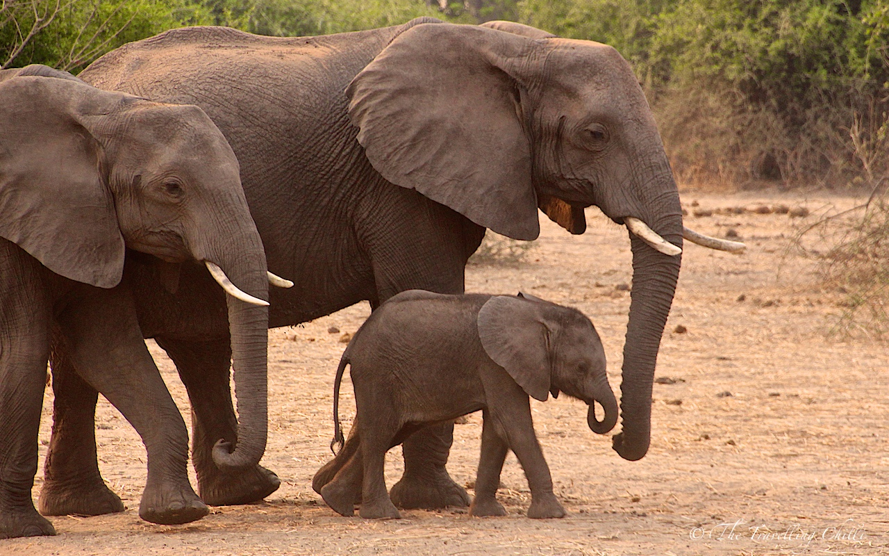 Herd of African elephants with baby – Chobe in Botswana