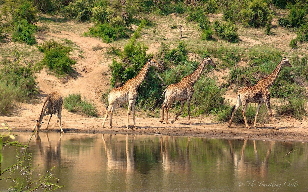Giraffe South Africa Kruger Safari