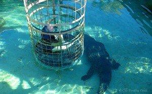 Picture of crocodile cage dive cango wildlife