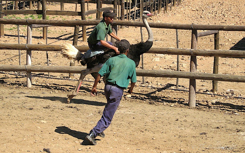 Picture of ostrich riding