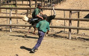 ostrich riding south africa oudtshoorn