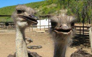 ostrich oudtshoorn south africa