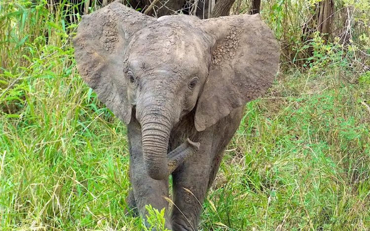 african elephant baby kruger south africa