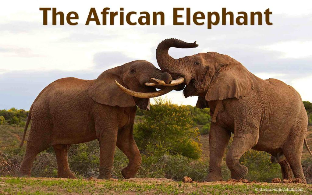 Interesting facts about the African elephant | facts about African elephants