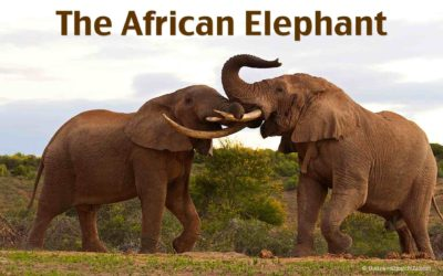 The African Elephant – Interesting Facts