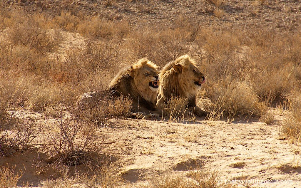 lions male kgalagadi south africa