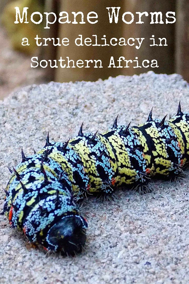 Mopane Worms a true delicacy in southern africa