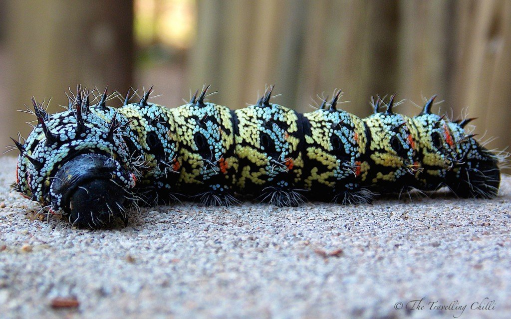 Mopane Mopani worm caterpillar food