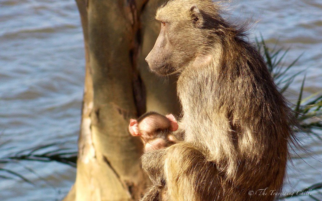 Baboon baby Kruger South Africa Safari