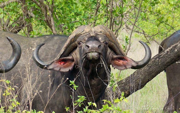 mammal buffalo Kruger South Africa Safari
