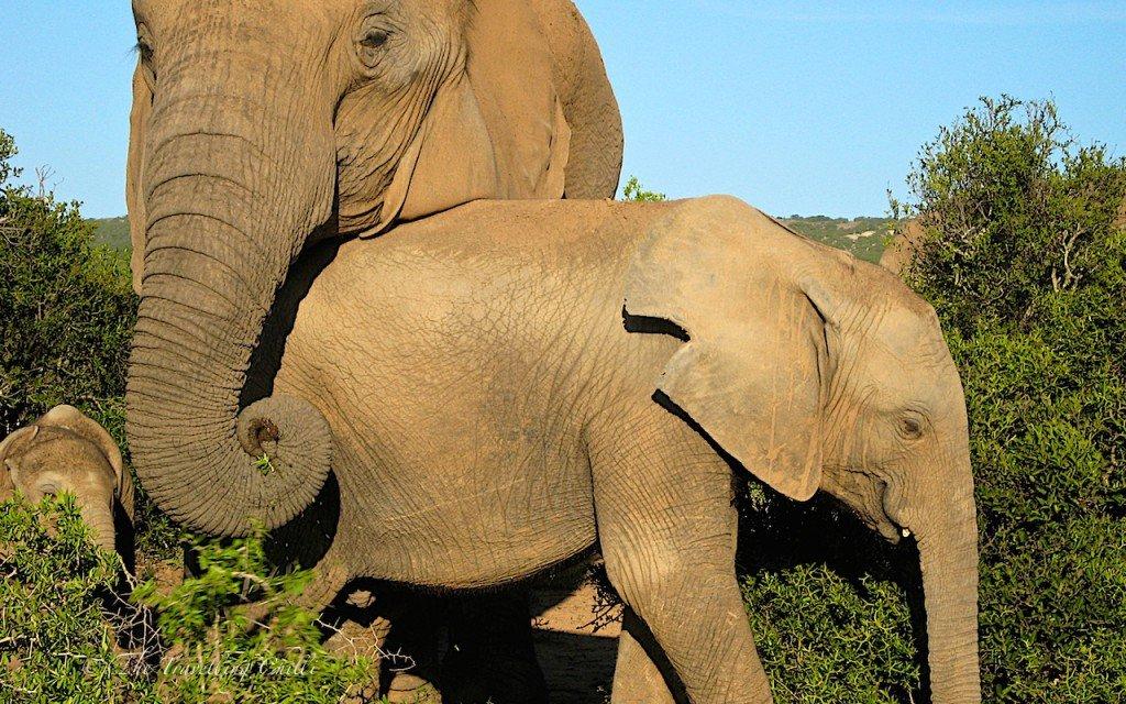 Safari Elephant baby calf South Africa Addo