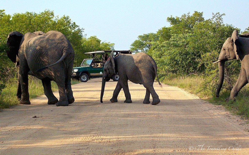 elephant mammal Kruger South Africa Safari