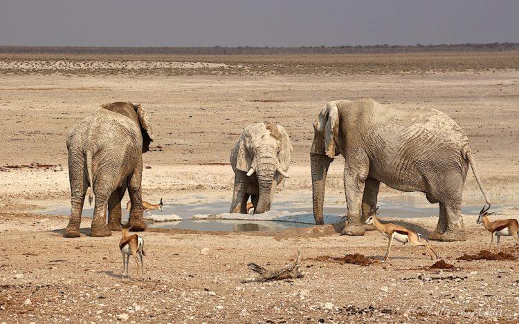 african elephant namibia etosha africa
