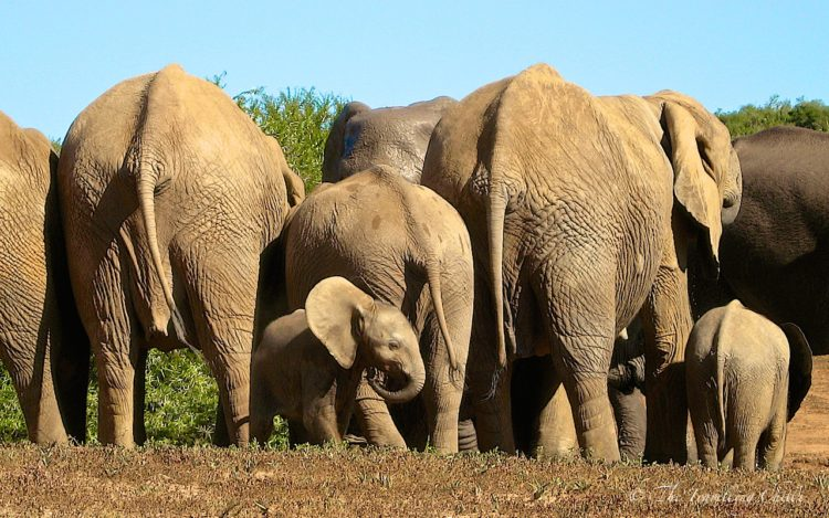 african elephant south africa