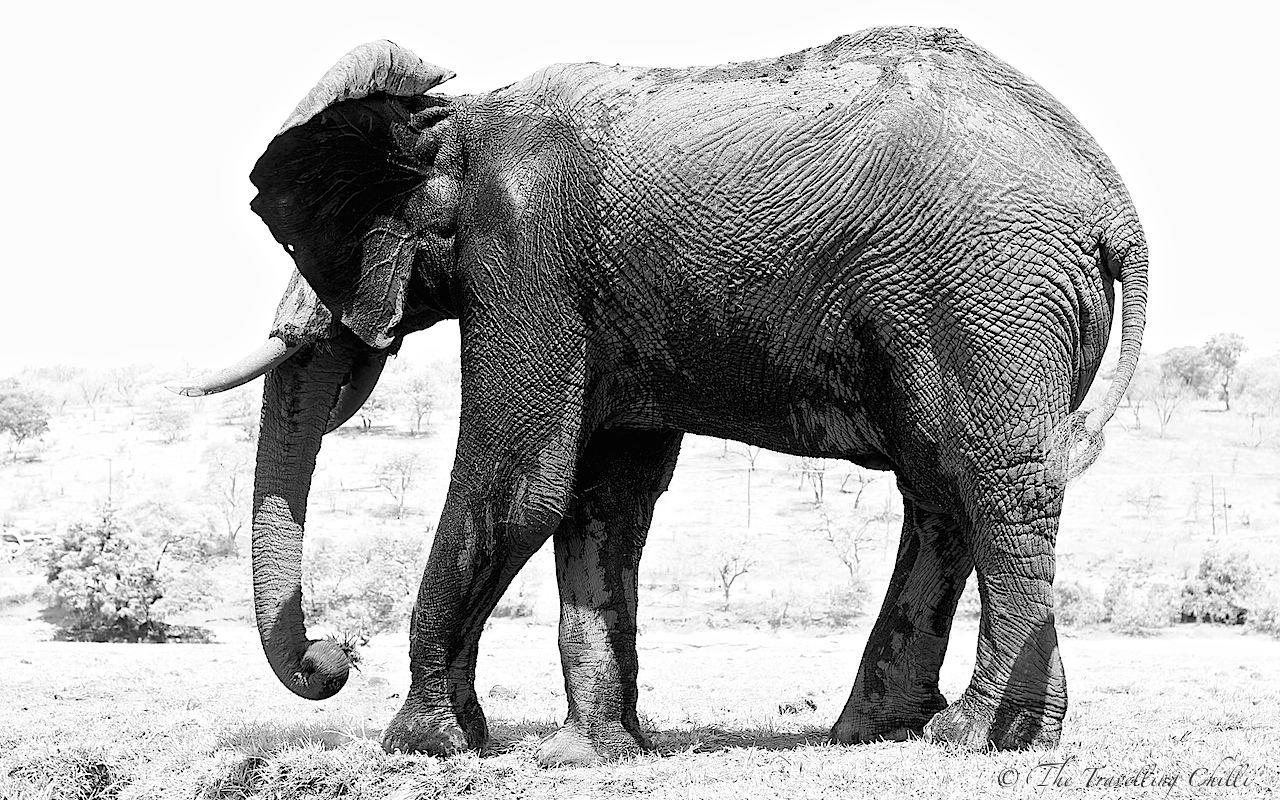 essay about elephant A war elephant was an elephant trained and essays about water for elephants guided by humans for essay focusing mosaic combat.