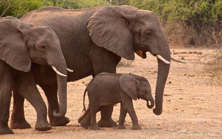 african elephant botswana chobe africa