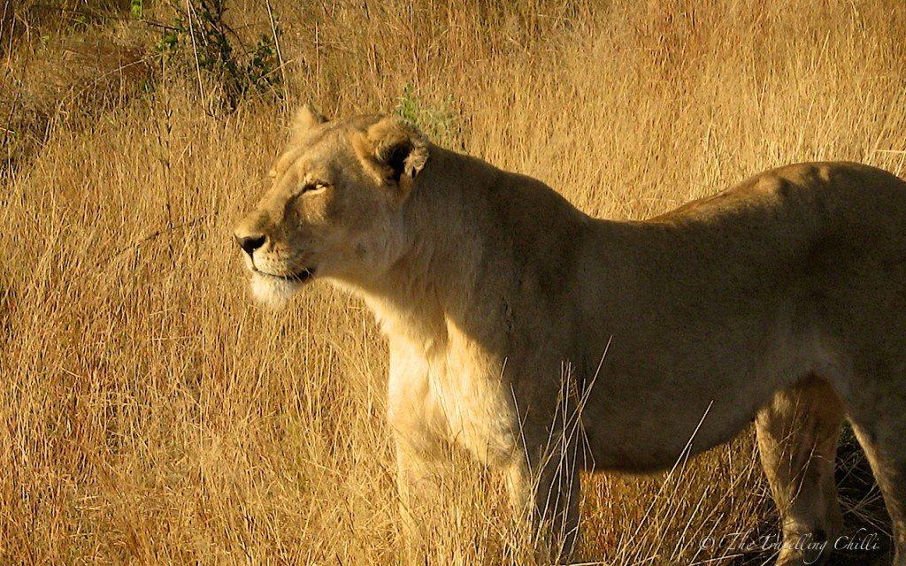 lion mammal south africa kruger Safari