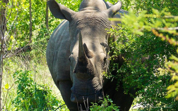 rhino south africa pilanesberg Safari