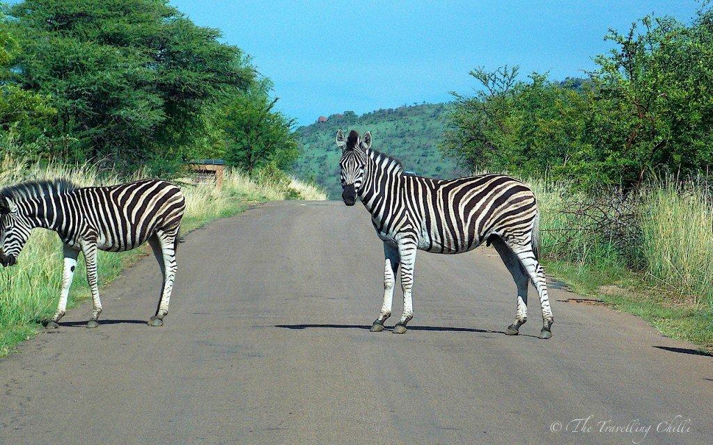 zebra pilanesberg South Africa Safari