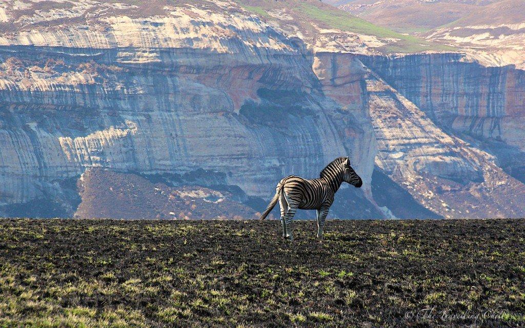Zebra South Africa Golden Gate Safari