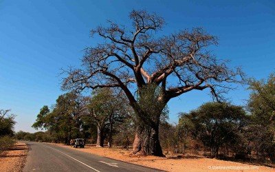 The Baobab – A tree of mysteries