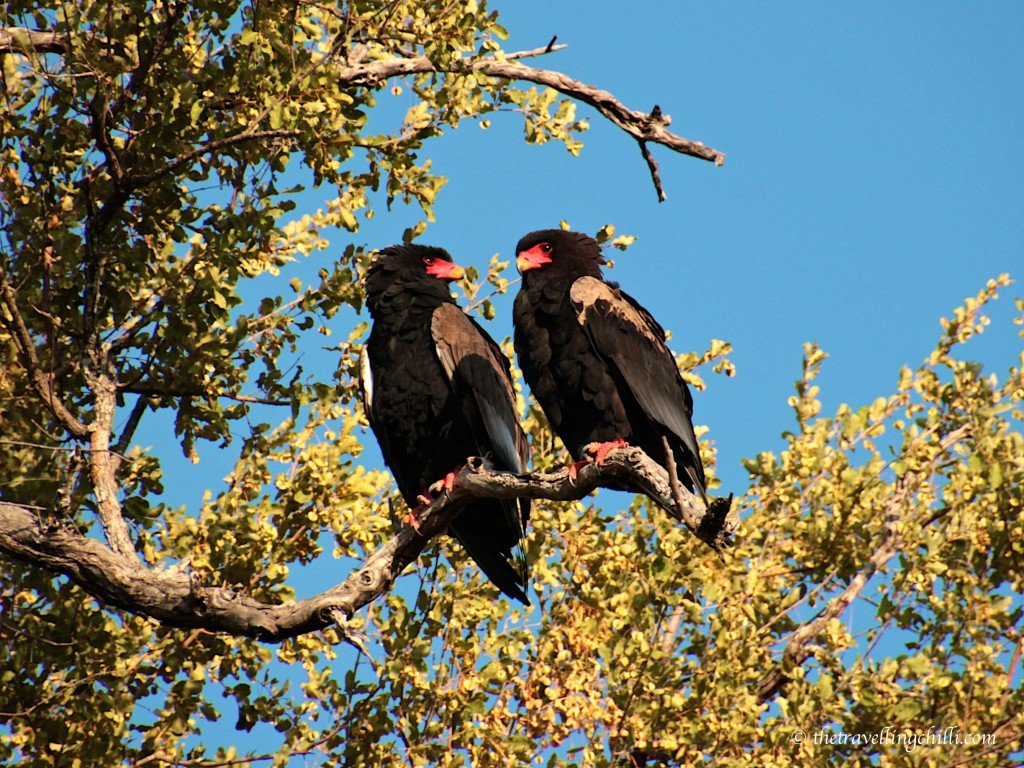 bird eagle bateleur kruger national park south africa
