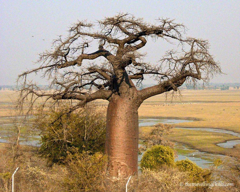 tree baobab namibia botswana