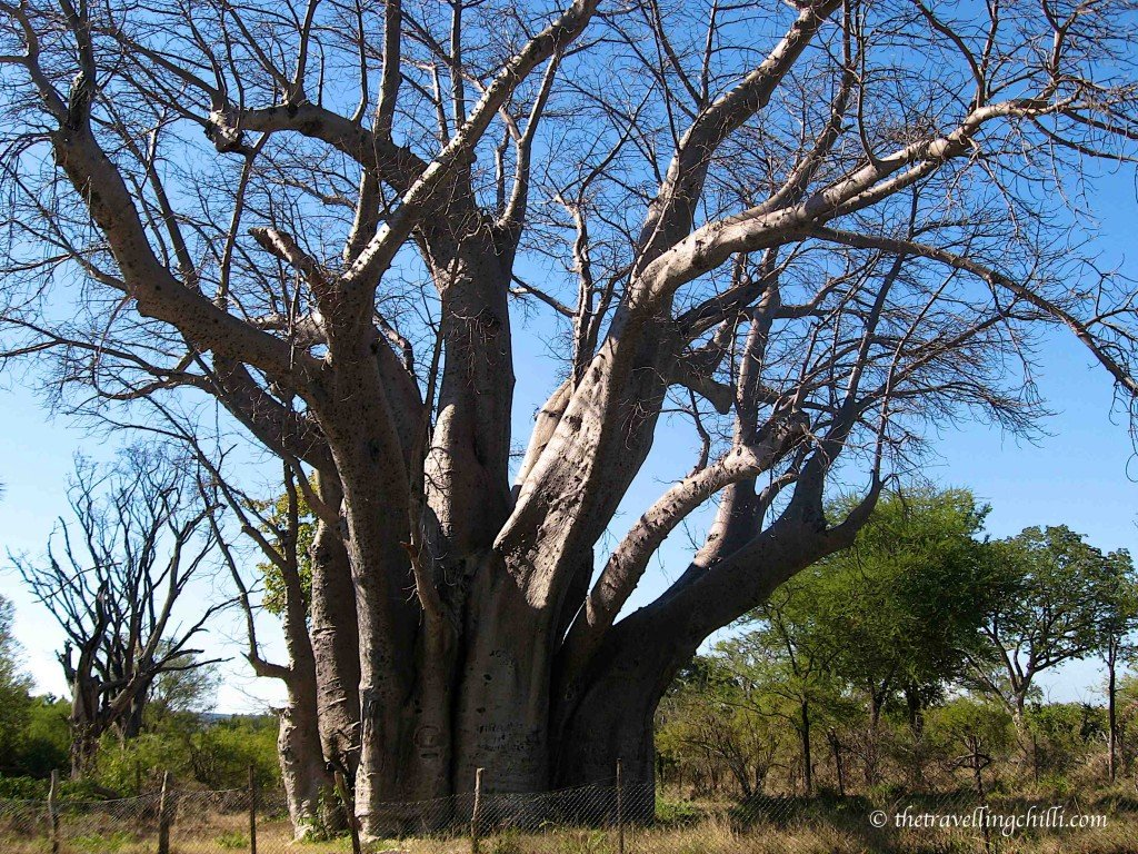 zimbabwe vicfalls tree baobab bigtree