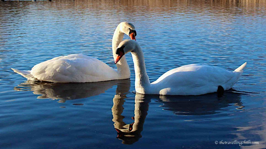 brugge bruges belgium swans