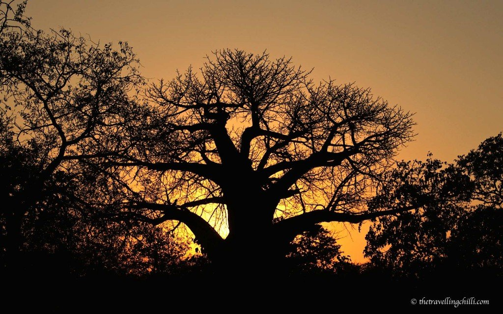 baobab sunset kruger pafuri south africa