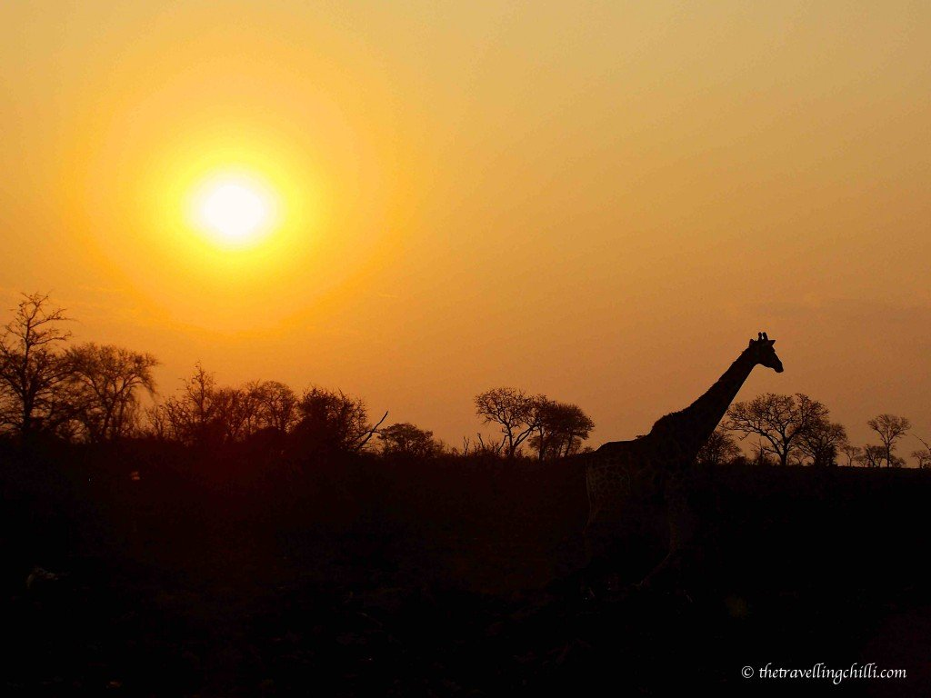 African Sunset in Kruger national park with giraffe