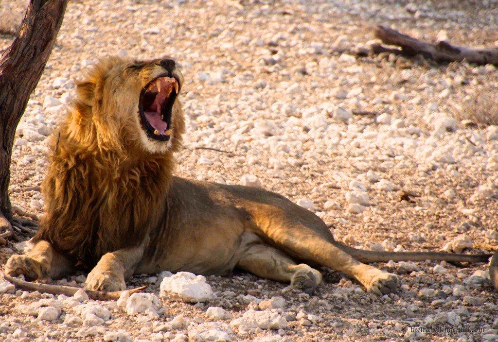 mammal lion namibia etosha