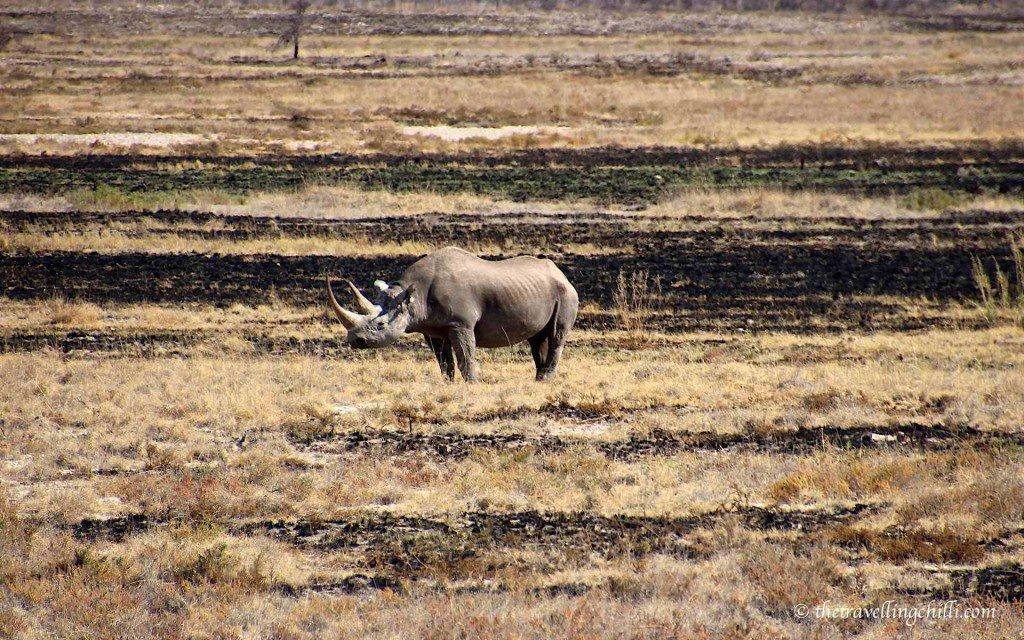 mammal black rhino namibia etosha