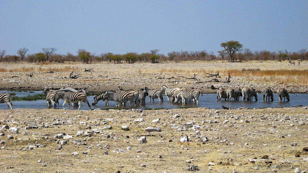 Zebra Etosha Namibia waterhole Okaukujo