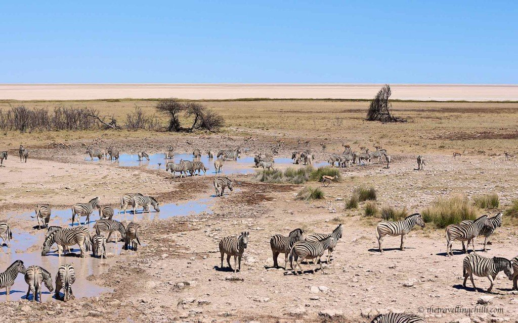 Zebra waterhole Etosha pan Namibia