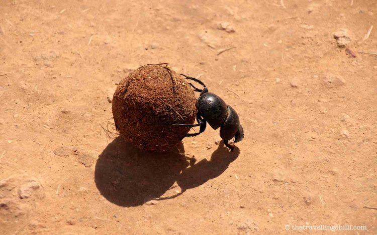 Dung beetle rolling a dung ball in Addo elephant park South Africa