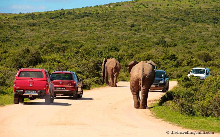 2 male elephants walking in between cars while on safari in Addo Elephant park South Africa