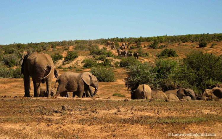 Herd of elephants drinking at the waterhole in Addo Elephant park in South Africa