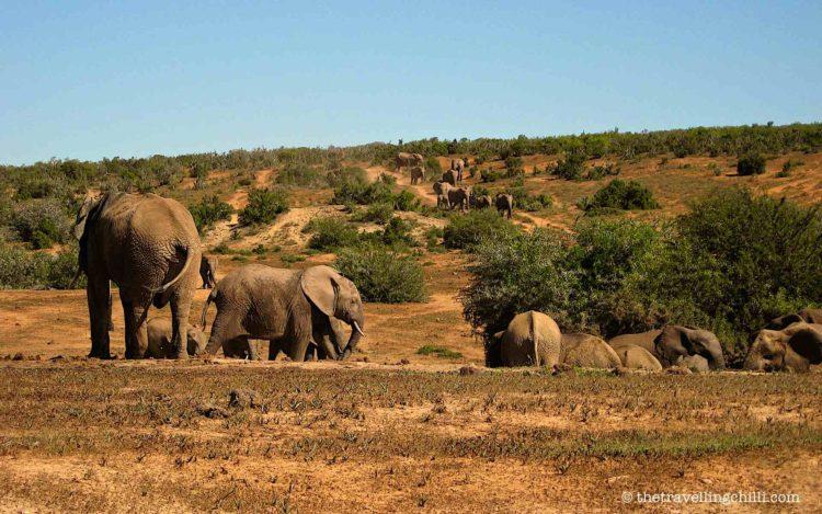 rsa addo elephant baby