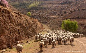 sheep roadblock lesotho