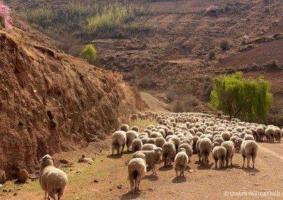 Sheepy roadblock