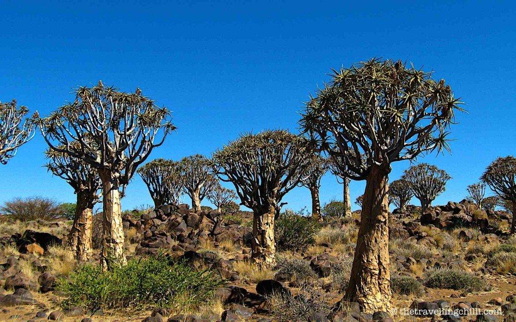 namibia kokerboom quivertree highlights