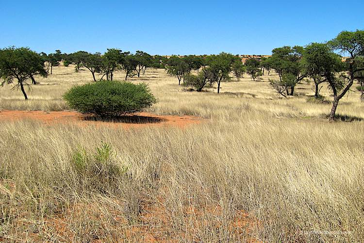 Kalahari desert with yellow grass, acacia trees and red sand