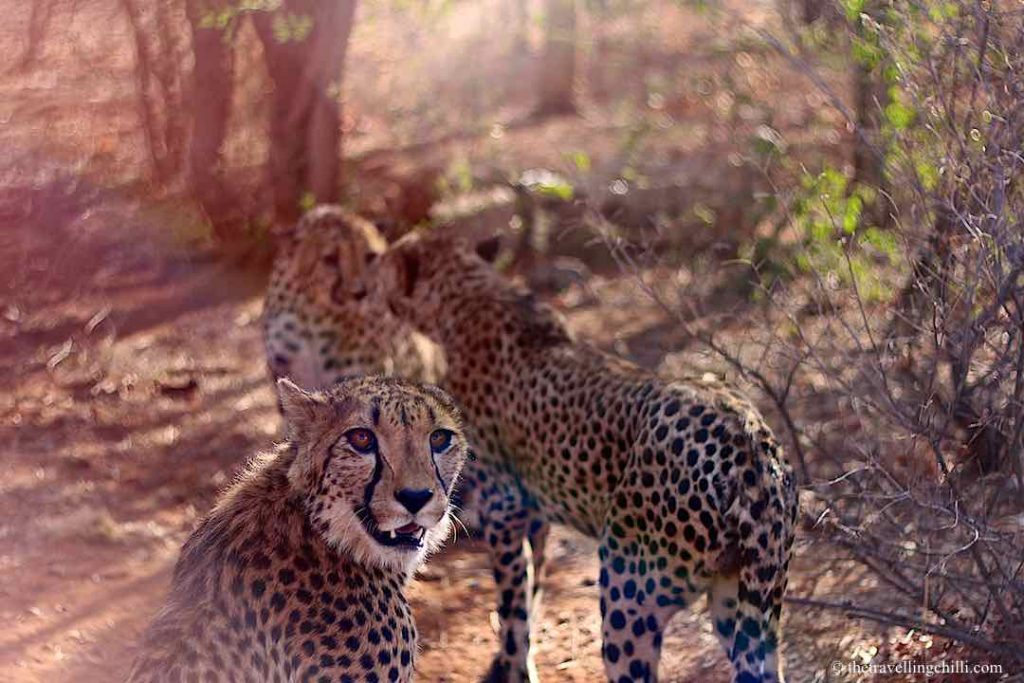 Three cheetahs in Namibia with close up of one cheetah and the other two are touching face to face