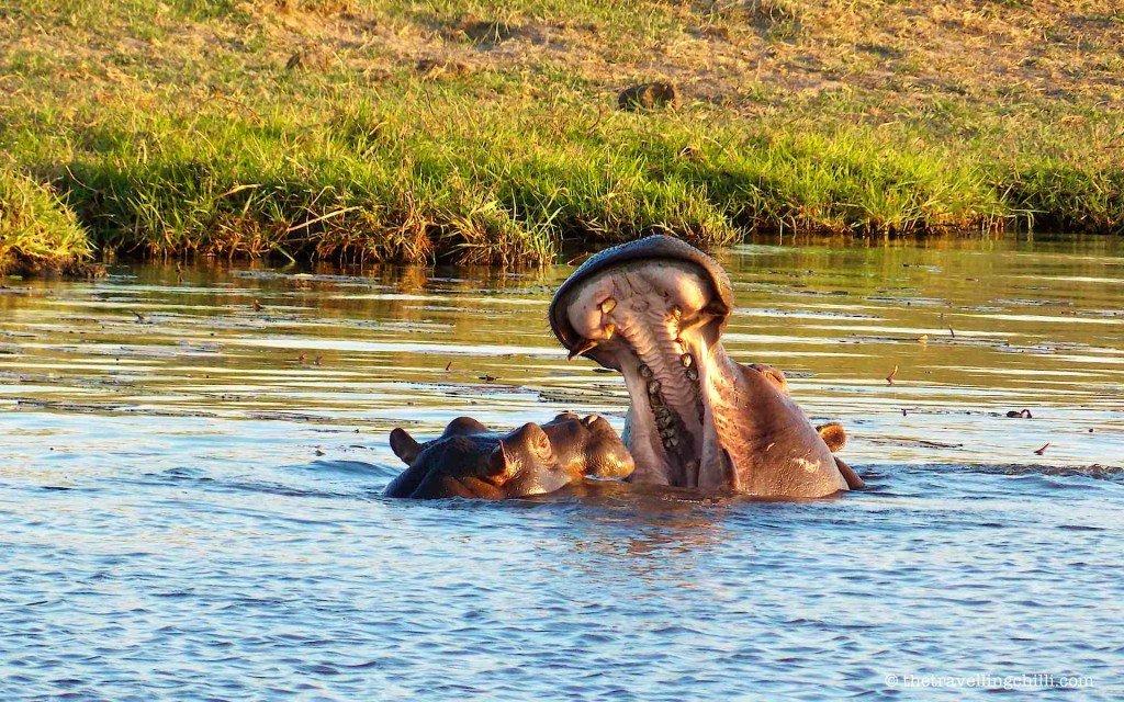 hippo botswana chobe