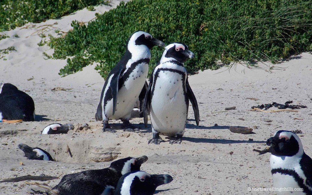 bird penguin south africa boulders simons town