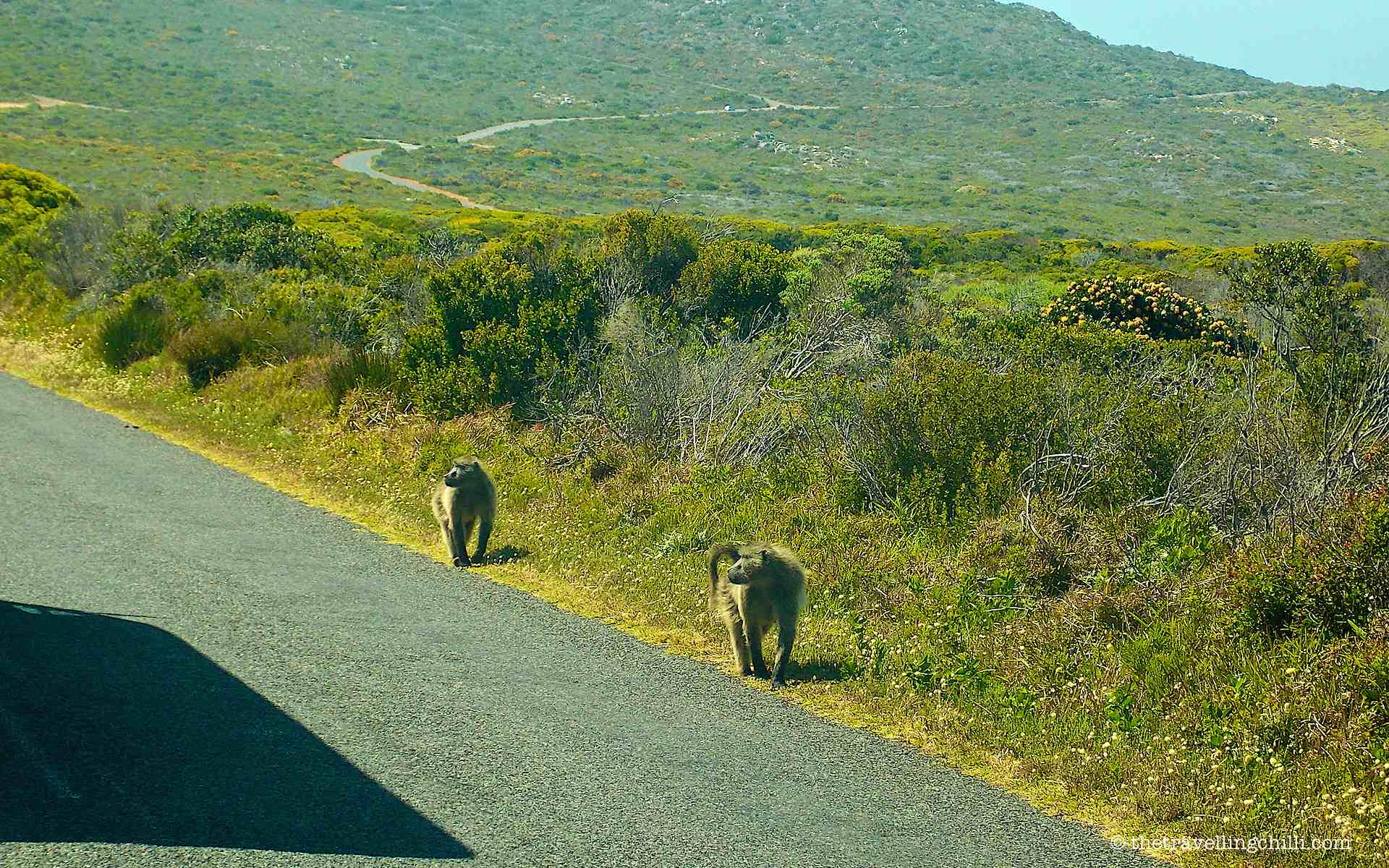 baboon cape point south africa peninsula