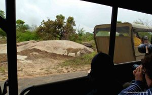 Lion in Kruger, safari in South Africa
