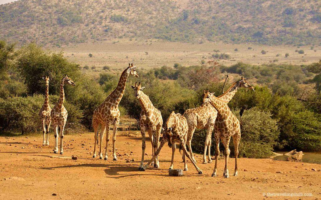 Giraffes in Pilanesberg National Park south africa